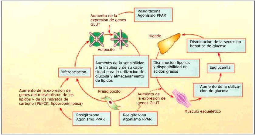 Disminuir la captación de glucosa diabetes tipo 2