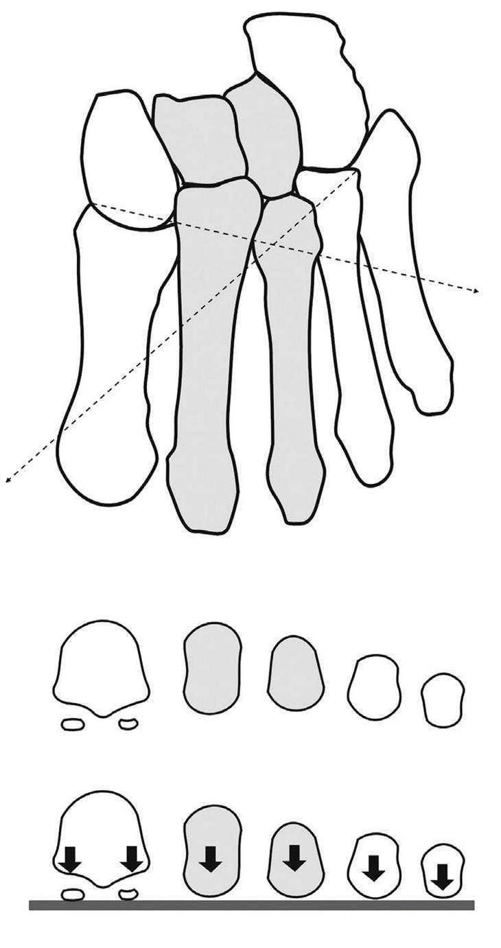 Anatomía funcional y biomecánica del tobillo y el pie   Revista ...