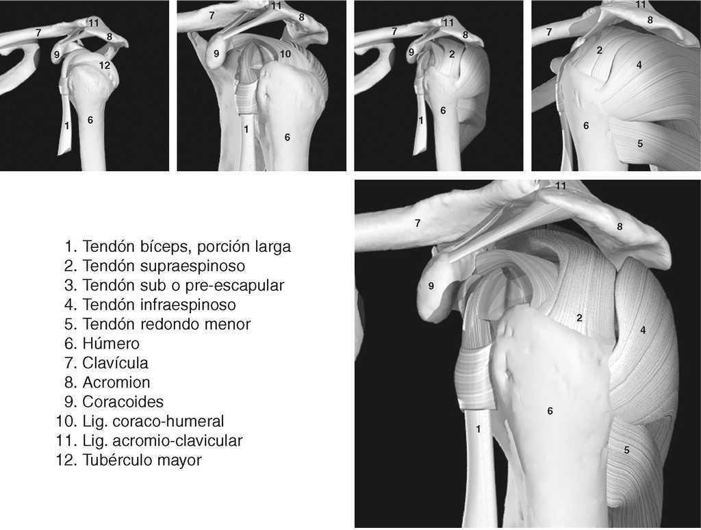 Metodología y técnicas. Ecografía del hombro normal | Medicina de ...