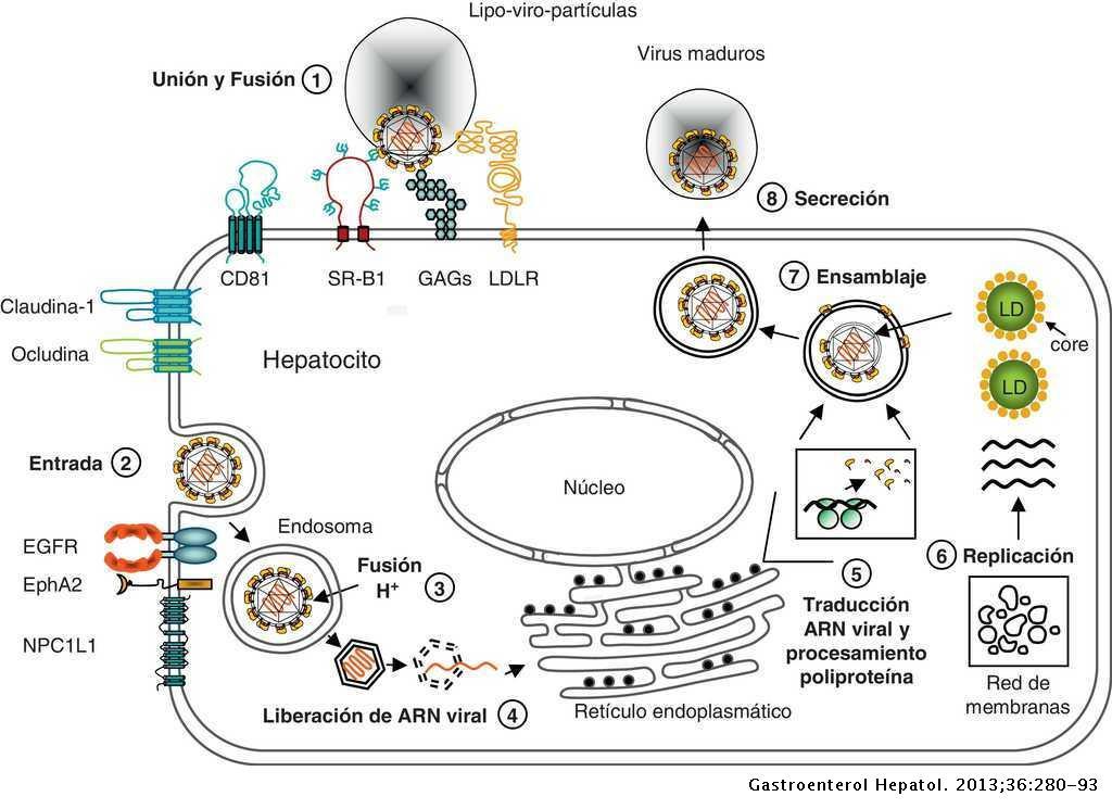 Biología Molecular Aplicada Del Virus De La Hepatitis C