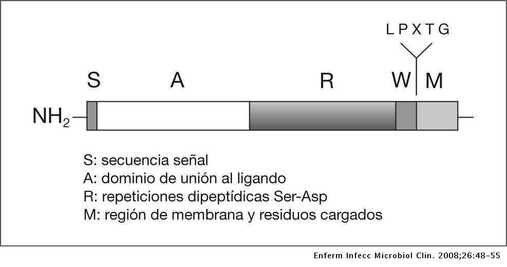Bases Moleculares De La Adherencia Microbiana Sobre Los