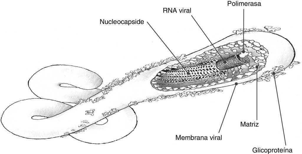 Enfermedad por virus ebola: actualización | Enfermedades Infecciosas ...