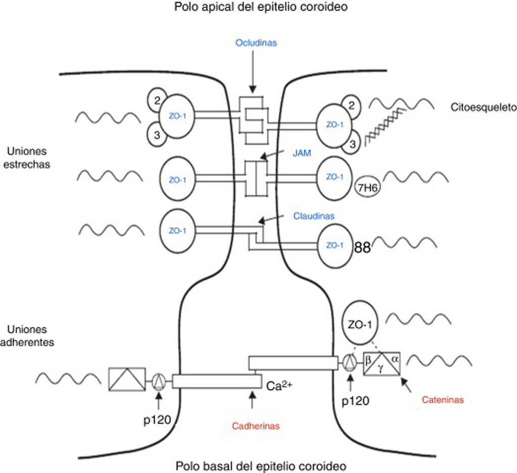 Variaciones de los plexos coroideos y las barreras cerebrales en la ...
