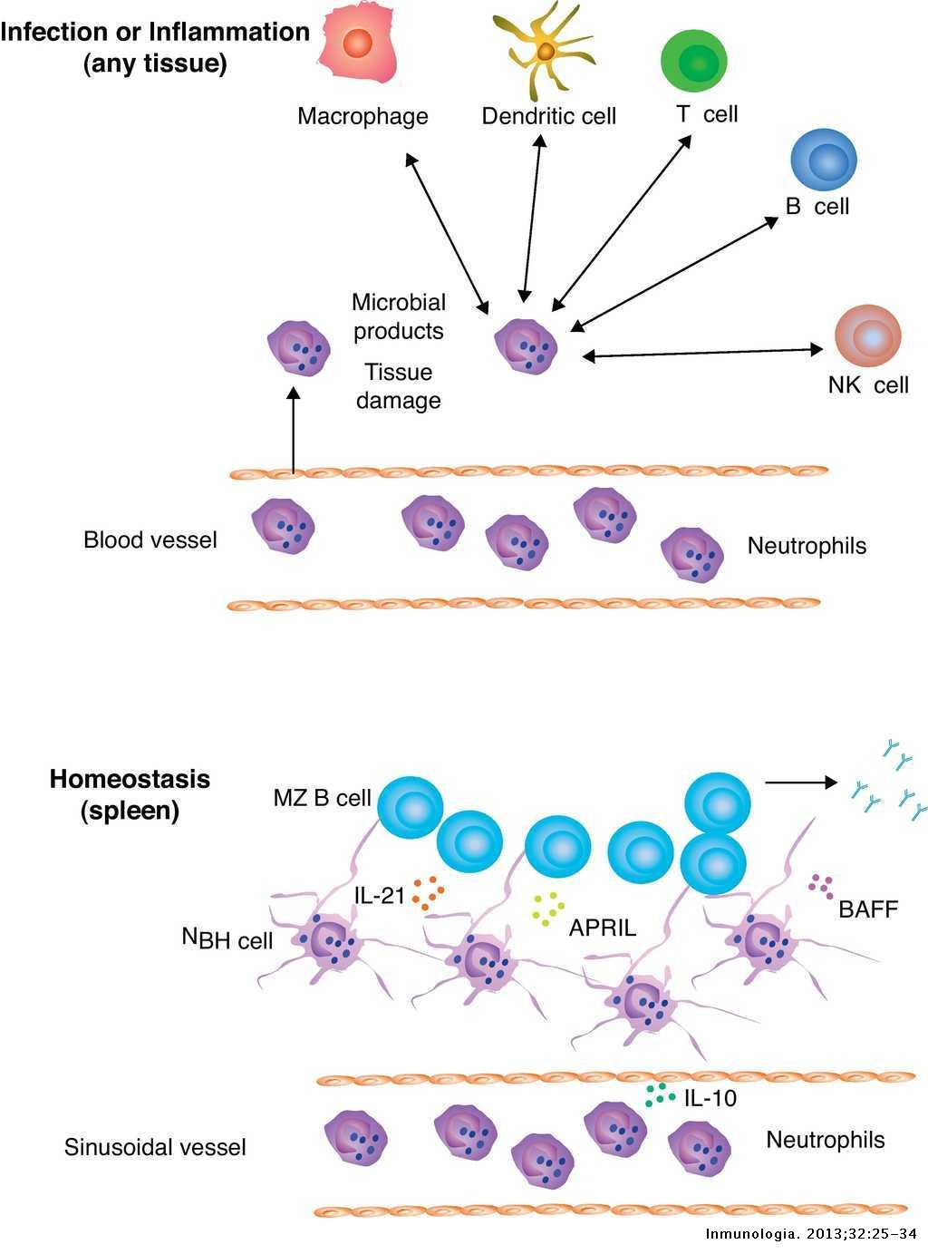 Emerging roles of granulocytes in B cell responses | Inmunología