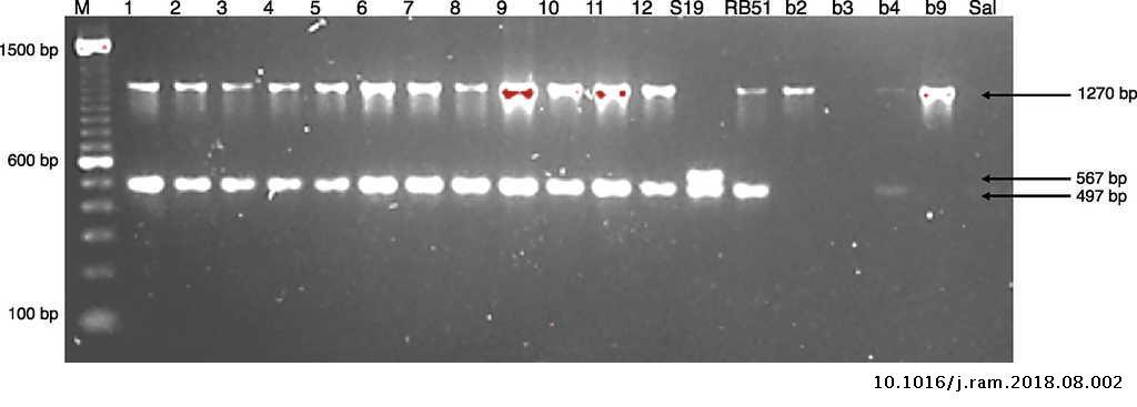 Identification of Brucella abortus biovar 4 of bovine origin
