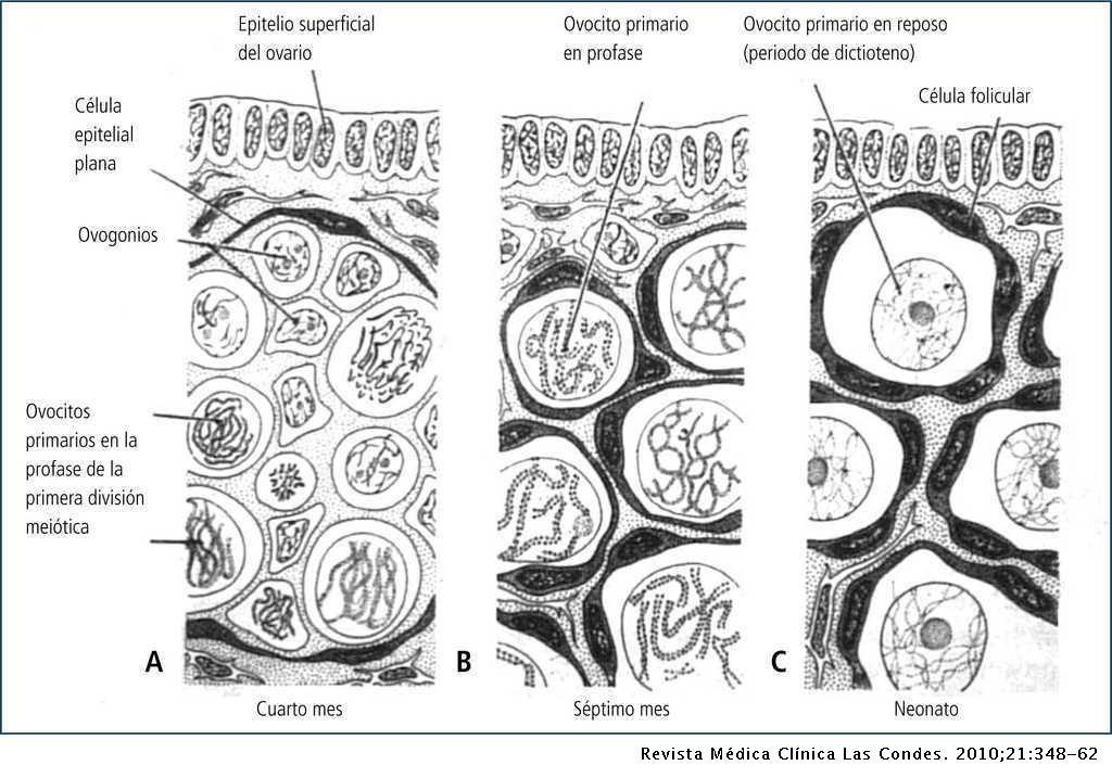 Fisiología Reproductiva Y Cambios Evolutivos Con La Edad De