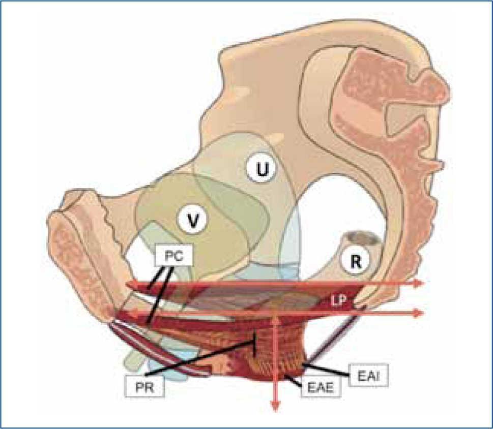 Anatomía del piso pélvico | Revista Médica Clínica Las Condes