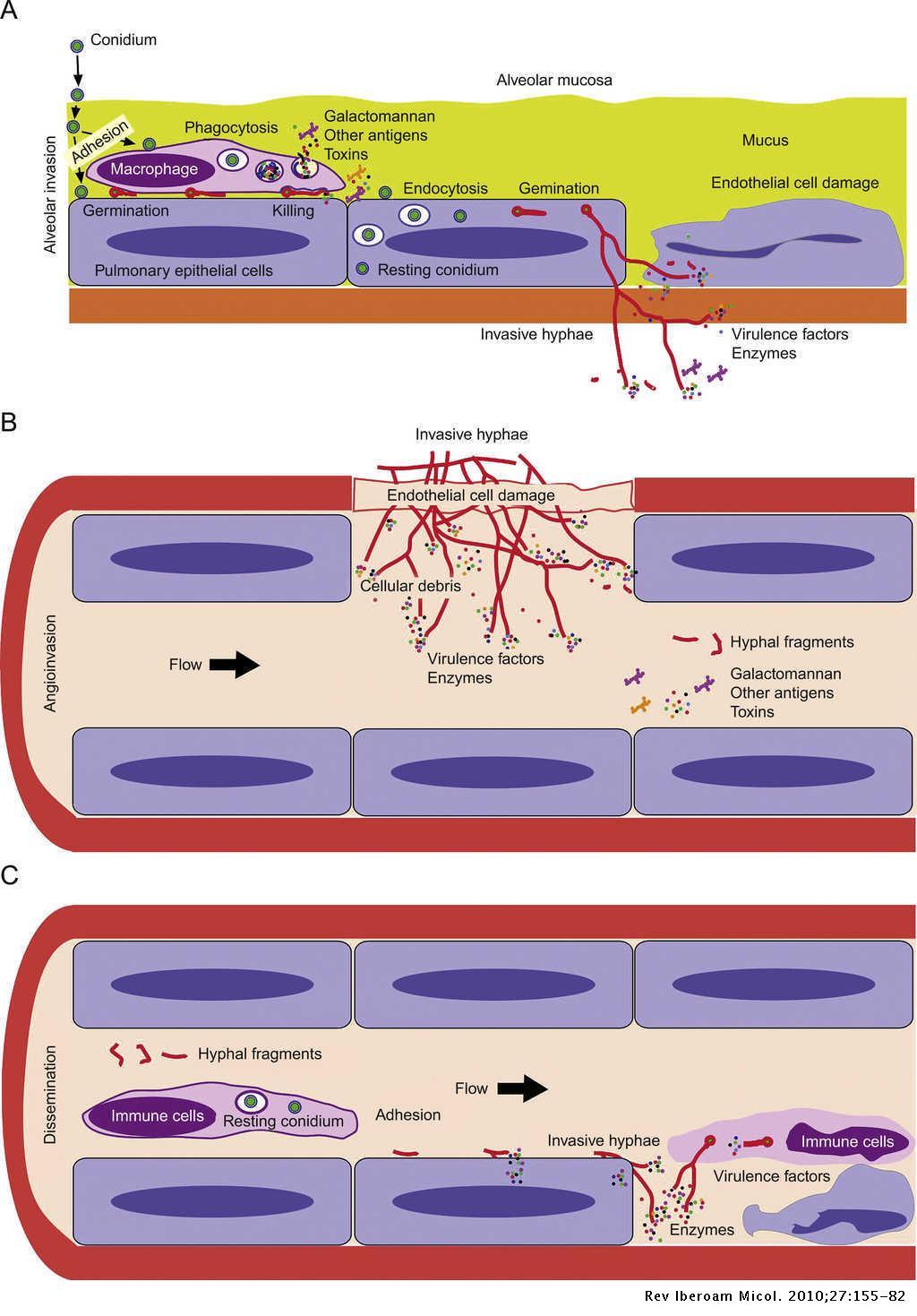 What makes Aspergillus fumigatus a successful pathogen? Genes and