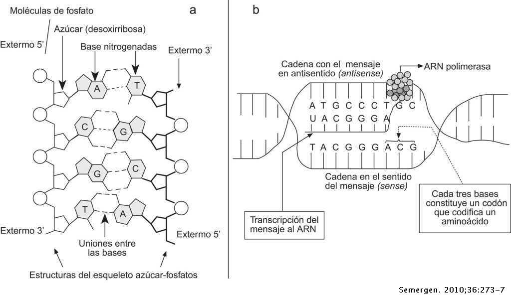 Estructura Y Función Del Adn Y De Los Genes I Tipos De