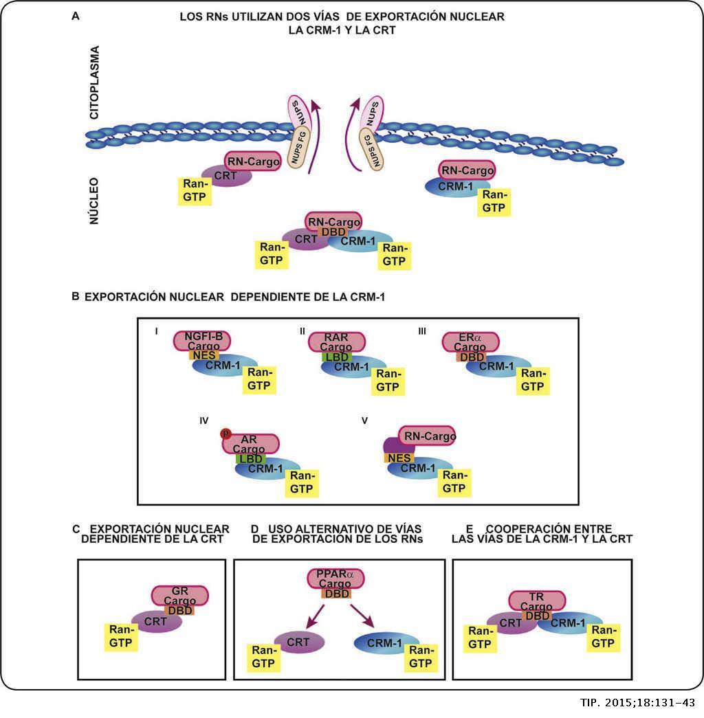 Receptores Nucleares Del Núcleo Al Citoplasma Tip
