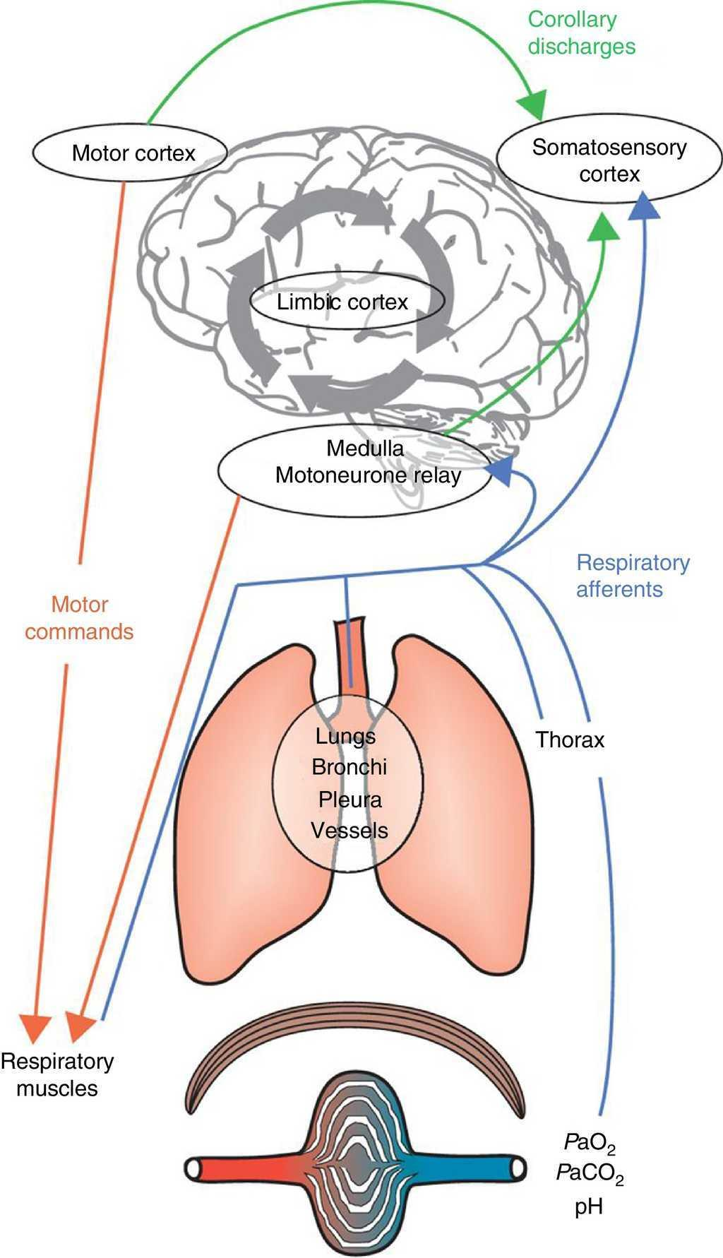 Exertional dyspnoea in chronic respiratory diseases from physiology integrative mechanisms underlying dyspnoea respiratory command derives from inputs from both the motor cortex and ccuart Choice Image