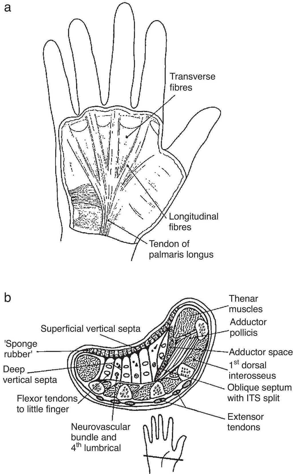 Clinical Anatomy Of The Hand Reumatologa Clnica