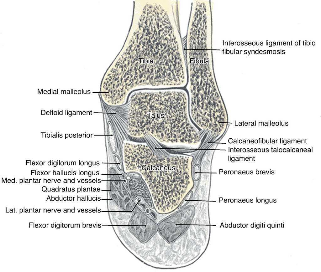 Clinical Anatomy Of The Ankle And Foot Reumatologa Clnica