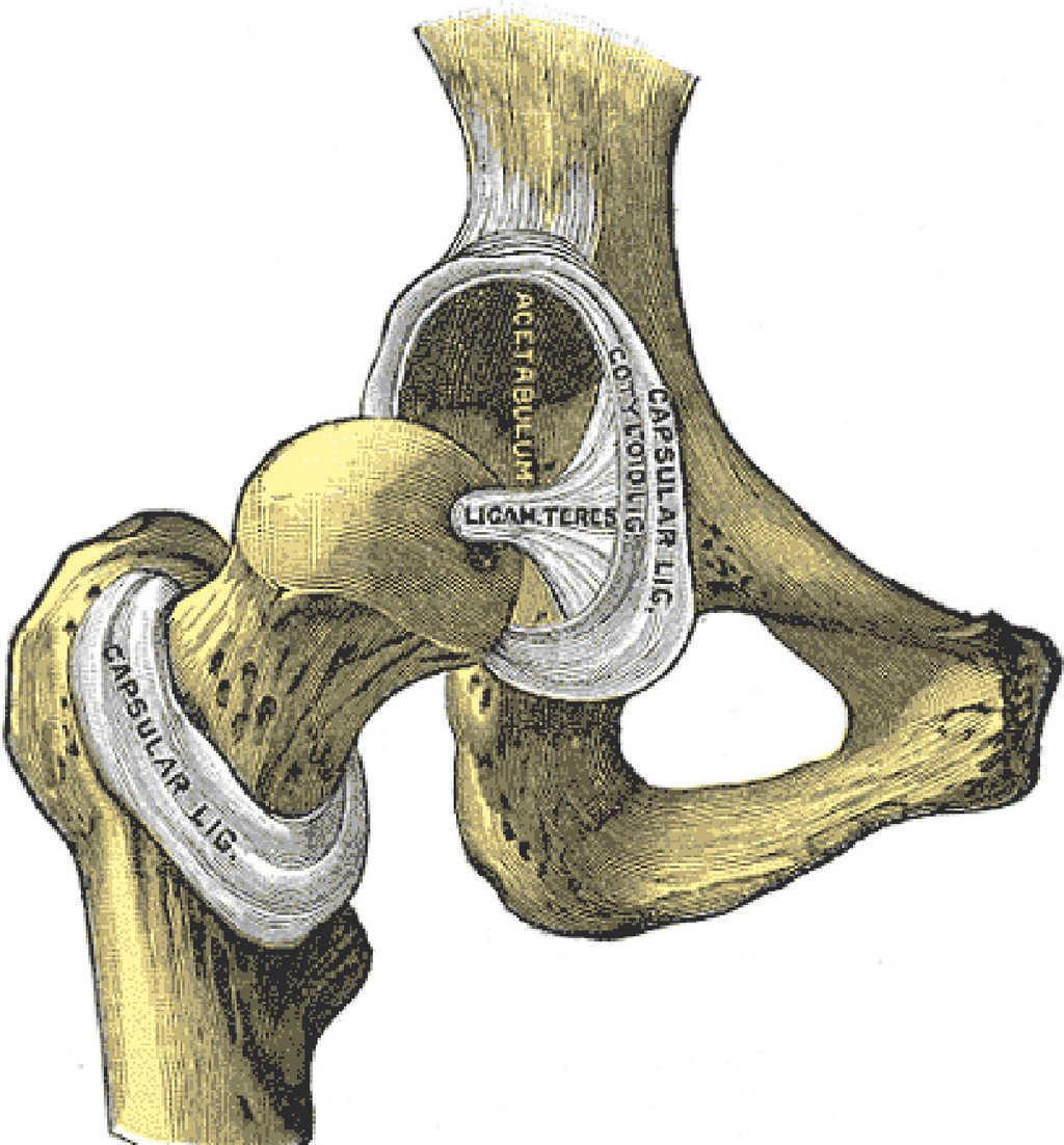 Clinical Anatomy Of The Pelvis And Hip Reumatologa Clnica
