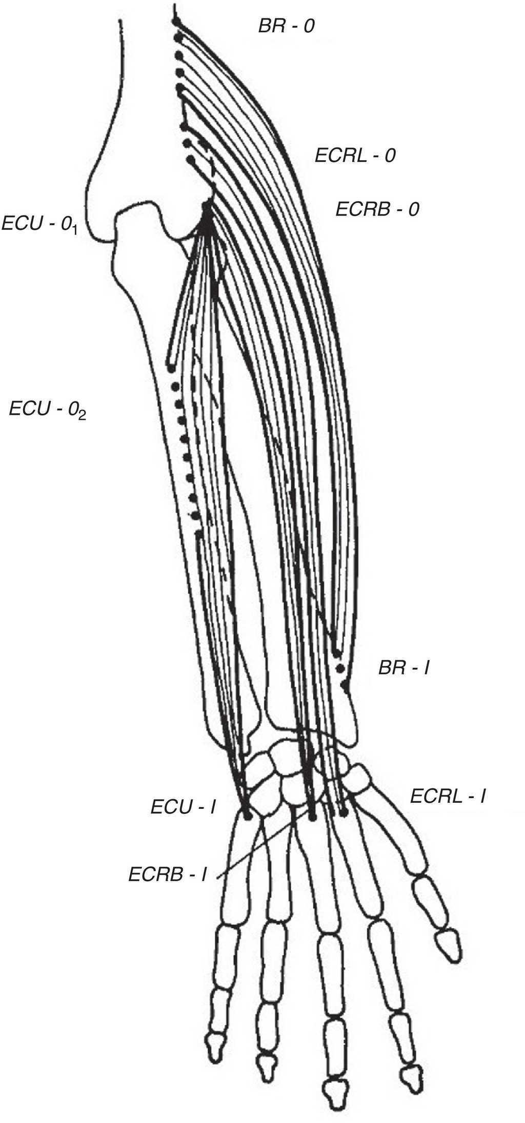Clinical Anatomy Of The Elbow And Shoulder Reumatologa Clnica