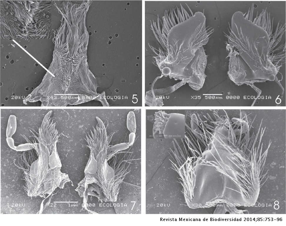 e07e4aae2ee2 Revisión y análisis filogenético del género Xyloryctes (Coleóptera ...