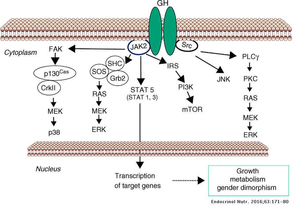 Sex steroids and growth hormone interactions | Endocrinología y