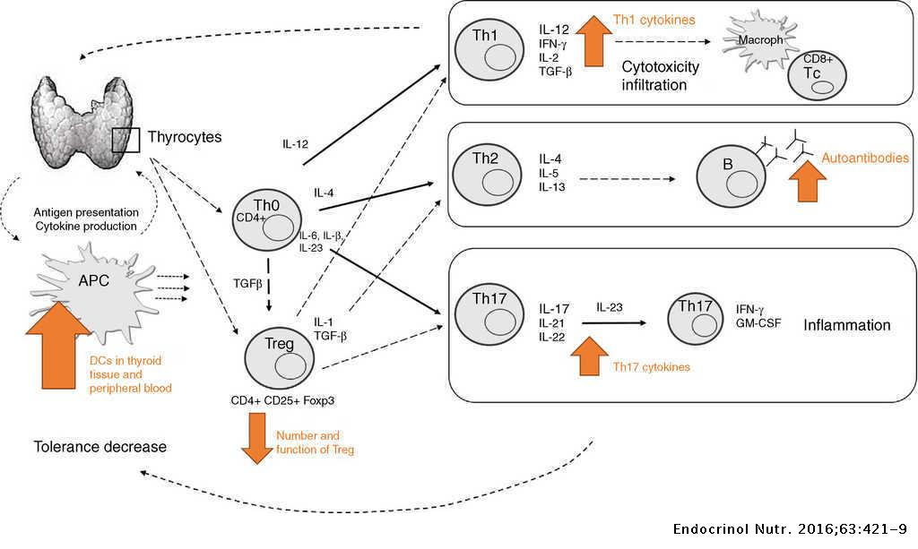 Pathogenesis Of Thyroid Autoimmune Disease The Role Of Cellular