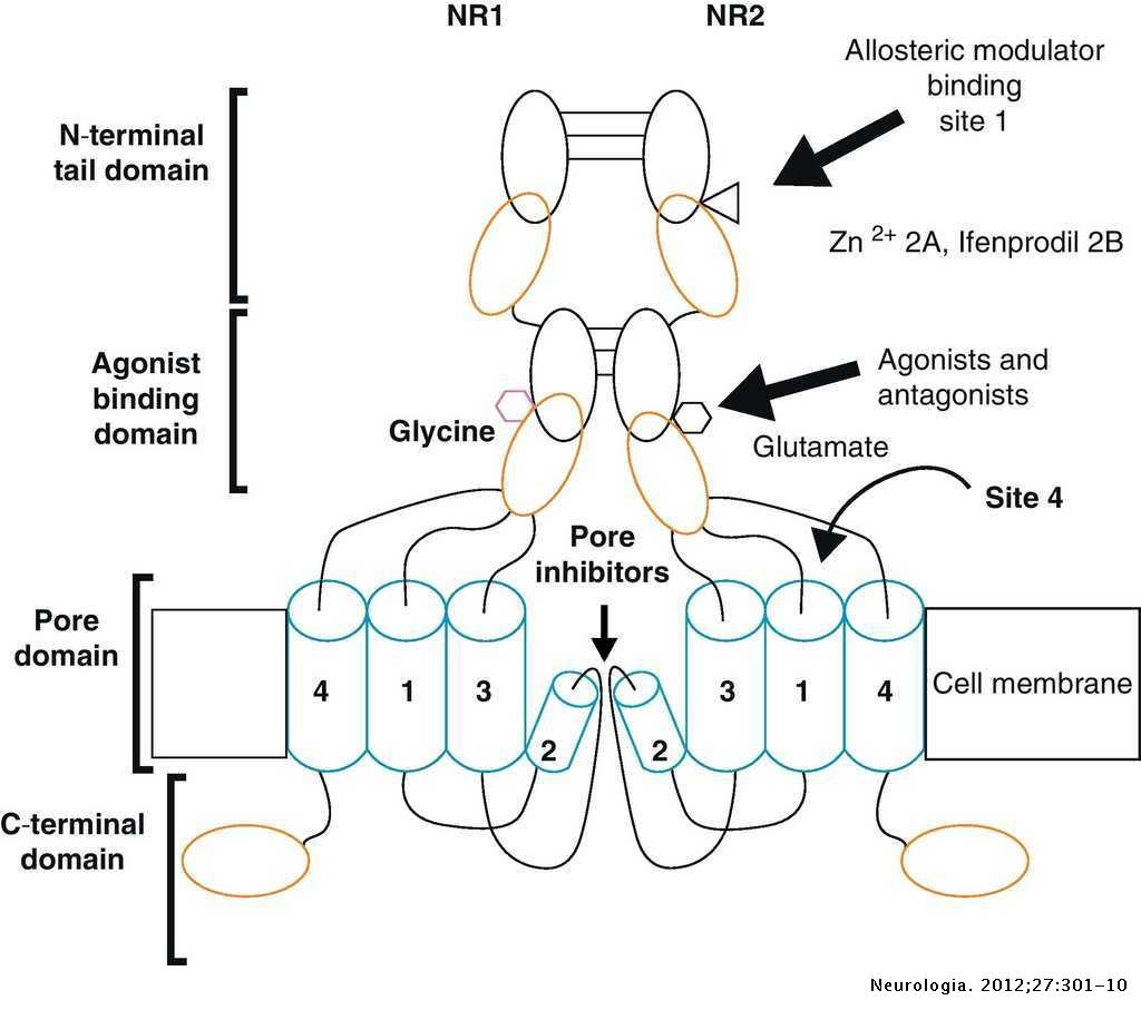 Structure And Function Of Nmda Type Glutamate Receptor Subunits