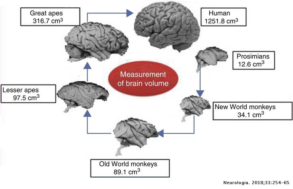 Evolution and genomics of the human brain | Neurología