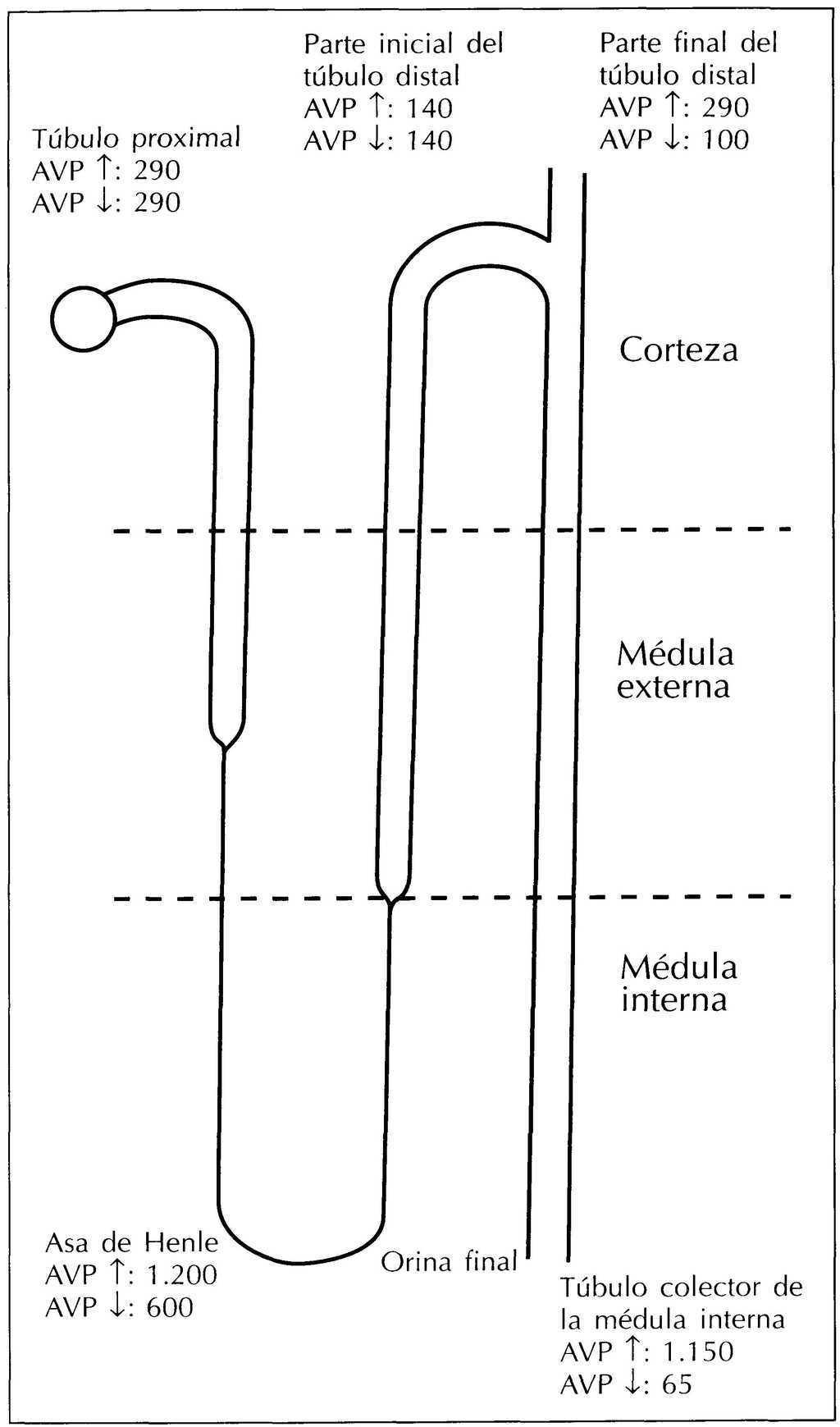 mecanismo de diabetes insípida inducida por litio