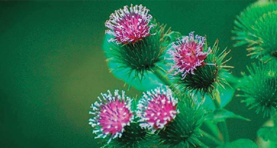 Plantas Medicinales Para El Tratamiento Del Acné Farmacia Profesional