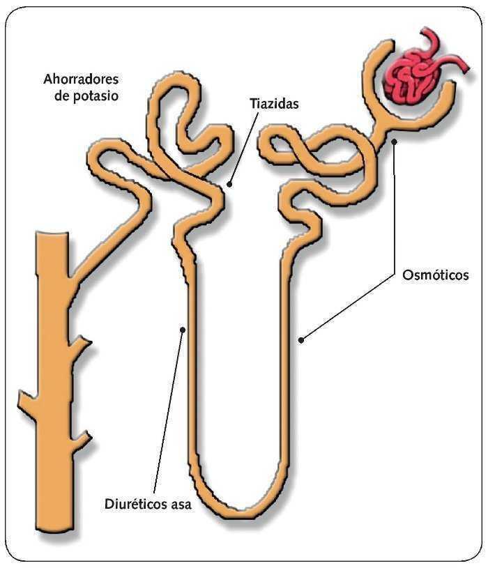 Farmacodinámica de medicamentos a base de hierbas para la hipertensión