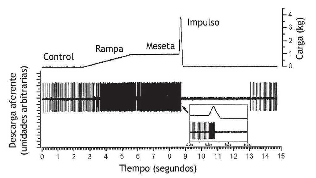 Efectos neurofisiológicos de la manipulación vertebral*   Osteopatía ...