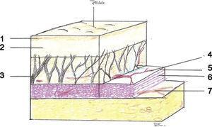 Estructura del sistema musculoaponeurótico superficial. 1: Epidermis; 2: dermis; 3: septo fibroso; 4: plexo vascular; 5: fascia; 6: músculo; 7: nervio motor.