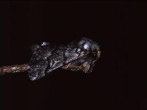 Polilla o fase adulta del lepidóptero nocturno Thaumetopoea pityocampa.