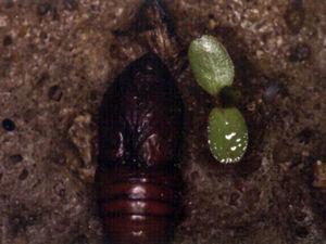 Fase de crisálida o ninfa de la Thaumetopoea pityocampa.