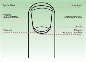 Esquema que muestra los elementos anatómicos del aparato ungueal en una visión frontal.