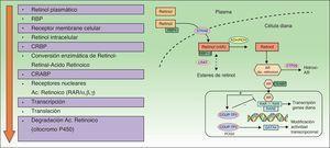 Mecanismo de acción de los retinoides. ADH: alcohol deshidrogenasa; COUP-TFII: chicken ovalbumin upstream promoter-transcription factor ii; CRBP: cellular retinol binding proteins; CYP: citocromo P 450 familia 26; FOG2: friend of GATA; GATA4: guanina, adenina, timina, adenina; LRAT: lecitin retinol acetil transferasa; RAR: retinoic acid receptors; RARE: retinoic acid response elements; RBP: retinol binding proteins; RDH: retinal dehidrogenasa; RXR: retinoid X receptors; STRAT6: stimulated by retinoic acid 6. Fuente: Saurat31; Siegenthaler et al.145; y Napoli146.