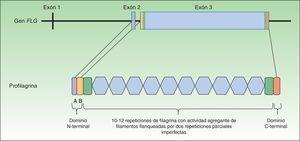 Estructura del gen FLG y de la proteína profilagrina.