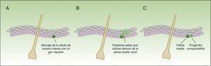 Concepto de lineage tracing. La figura 3 muestra un esquema de la información que nos permite obtener los experimentos de lineage tracing. Consiste en introducir un gen reporter asociado al marcador de las células que nos interesa (A), obteniendo señal fluoresente en el subgrupo de células de nuestro interés. Todas las células hijas de las células marcadas también tendrán la señal fluorescente (B), pero la intensidad de la señal irá disminuyendo conforme las células se van dividiendo. De esta forma, por un lado, nos permite identificar las células que descienden de las células inicialmente marcadas, y por otro lado, valorar la velocidad de división (las células que a lo largo del tiempo mantienen la señal fluorescente intensa serán las células quiescentes que se dividen muy lentamente —las células madre—), mientras que aquellas células que van perdiendo la intensidad del color son progenitores comprometidos (C).