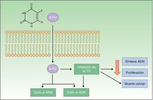 Mecanismo de acción del 5-FU, el cual se une a la enzima timidilato sintasa, inhibiéndola y provocando una reducción en la síntesis de ADN y en la proliferación celular, induciendo la muerte celular. 5-FU: 5 fluorouracilo; TS: enzima timidilato sintasa.