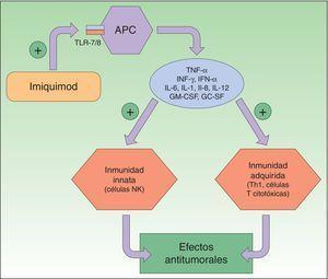 Mecanismo de acción de imiquimod; se sabe que actúa bloqueando el receptor Toll-like 7 y 8, lo que conlleva la secreción de citoquinas proinflamatorias y antimicrobianas que provoca tanto la estimulación de la inmunidad innata como de la adquirida, con efectos antitumorales. APC: antigen-presenting cells; Células NK: células natural killer; Células Th1: células T helper; IL: interleucinas; INF: interferón; GC SF: factor estimulante de colonias de granulocitos; GM-CSF: factor estimulante de colonias de granulocitos y macrófagos; TLR: Toll-like receptor; TNF: tumor necrosis factor.