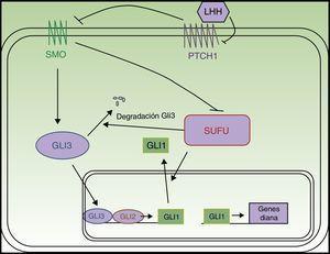Esquema de la vía Hedgehog. LHH: ligandos Hedgehog; PTCH1: Patched 1; SMO: Smoothened; SUFU: suppressor of fused.