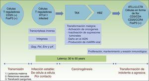Patogénesis de la LLCTA. Infección de células T reguladoras por contacto célula a célula. La carcinogénesis es un proceso bifásico. Primero, la proteína reguladora Tax está implicada en la transformación maligna inicial, pero solo está presente en el 40% de las células LLCTA. De ahí que el factor HBZ juegue un papel primordial en la proliferación, mantenimiento y evasión inmunológica. HBZ: factor de cremallera de leucina de carácter básico del HTLV-1; HTLV-1: infección del virus humano T linfotrófico tipo1; LLCTA: leucemia/linfoma de células T del adulto; TAX: producto del gen Tax.