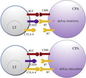 Esquema de la activación del linfocito T tras la interacción entre el receptor del linfocito T y el complejo mayor de histocompatibilidad y entre las moléculas coestimuladoras B7 y CD28 (superior). Inhibición de la respuesta tras la unión del antígeno citotóxico de los linfocitos T a B7 (inferior). CD28: cluster of differentiation 28; CMH: complejo mayor de histocompatibilidad; CPA: célula presentadora de antígeno; CTLA-4: antígeno citotóxico de los linfocitos T; LT: linfocito T; RLT: receptor del linfocito T.