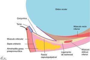 Anatomía palpebral básica. Lamela anterior (piel y músculo orbicularis oculi), lamela media (septo orbital y grasa orbital) y lamela posterior (fascia capsulopalpebral, tarso y conjuntiva).