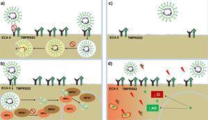Mecanismo de acción contra SARS-CoV-2. Mecanismo de acción de antipalúdicos: interfieren con la glucosilación terminal del receptor ECA-II disminuyendo su afinidad con el SARS-CoV-2 y, por ende, disminuye la penetración viral Por otro lado, altera la endocitosis y la proteólisis mediante la alcalinización del endosoma o vesículas endocíticas. Mecanismo de acción de ivermectina: bloquea la formación de la importina IMPα/β1, impidiendo el transporte de proteínas virales al núcleo celular. Mecanismo de acción de antiandrógenos: disminuyen la expresión del receptor ECA-II y la serina proteasa TMPRSS2 en la membrana celular. Mecanismo de acción de melatonina (representada mediante una estrella de color verde): ejerce un potente efecto antioxidante (con un notable efecto protector sobre las mitocondrias y el núcleo celular) al bloquear de forma directa los radicales libres (rayos de color rojo) y aumentar la expresión de enzimas antioxidantes. Presenta un efecto antiinflamatorio por su capacidad de bloquear la acción de factores nucleares capaces de aumentar la producción de citocinas inflamatorias. AO: enzimas antioxidantes; CI: citocinas inflamatorias; ECA-II: receptor de enzima convesora de angiotensina ii; IMPβ1 y IMPα: importina beta e importina alfa; TMPRSS2: serina proteasa transmembrana TMPRSS2.