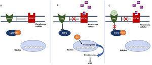 Activación y desactivación de la vía de señalización de Hedgehog (Hh). A: en ausencia de ligandos Hh, el receptor PTCH1 inhibe a SMO, permitiendo a la proteína SUFU unirse e inhibir a los factores de transcripción GLI. B: la unión de ligandos Hh a PTCH1 suprime la inhibición a SMO, como consecuencia se inhibe SUFU, disociándose el complejo y activándose los factores de transcripción GLI, que se translocan al núcleo y se induce la transcripción de genes asociados a la vía de señalización Hh implicados en el aumento de la supervivencia celular y mitosis. C: En presencia de ligandos Hh, que activan la vía Hh, los inhibidores bloquean la activación de SMO, permitiendo la supresión de los factores de transcripción GLI por SUFU y la transcripción de los genes asociados a la vía Hh. GLI: factor de transcripción GLI; Hh: ligando Hedgehog; I: inhibidores de SMO como sonidegib y vismodegib; PTCH1: receptor transmembrana Patched 1; SMO: proteína Smoothened; SUFU: proteína mediadora suppressor of fused homolog.