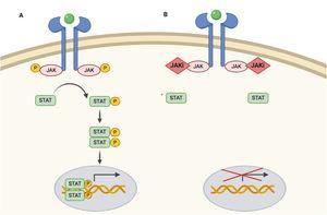 Vía JAK/STAT y mecanismo de acción de los inhibidores JAK. A) Vía JAK/STAT. La citoquina se une al receptor activando las proteínas JAK mediante fosforilación. El JAK activado fosforila proteína STAT, activándola. STAT activado se transloca al núcleo. La proteína STAT activada actúa como un factor de transcripción y se une al ADN, regulando la transcripción de una gran variedad de genes afectando el crecimiento celular y la apoptosis. B) Mecanismo de acción de los inhibidores de JAK (JAKi). Los inhibidores de JAK se unen al sitio de unión del adenosín trifosfato del dímero JAK impidiendo su autofosforilación y activación. Sin la activación de JAK, la proteína STAT tampoco se puede activar ni translocar al núcleo, resultando en una menor transcripción de genes proinflamatorios. Figura creada con ayuda de Biorender.com.