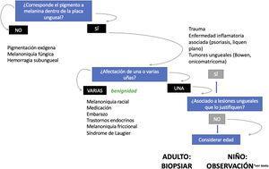 Algoritmo de manejo de las melanoniquias longitudinales (adaptado de Piraccini et al.26) en adultos, la aparición repentina de una nueva banda única de melanoniquia hace necesario descartar un melanoma subungueal. En niños, incluso en presencia de algunos signos clínicos atípicos, se trata con gran probabilidad de una lesión benigna. En presencia de signos o síntomas preocupantes (hemorragia, dolor, cambio rápido o llamativo en el color o en la anchura) algunos autores recomiendan enviar a una unidad de referencia o considerar la biopsia ungueal.