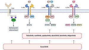 Vía de señalización IL-4/IL-13/JAK/STAT y vía SYK en dermatitis atópica. Se representan en la imagen los diferentes inhibidores de JAK y los inhibidores duales de JAK/SYK en dermatitis atópica. Las funciones biológicas de IL-4 e IL-13 son mediadas por su unión a las subunidades IL-4Rα e IL-13Rα1 de los correspondientes receptores. La IL-4 se une a un receptor de tipo I que comprende la IL-4Rα y la cadena γ del receptor de citocinas o bien a un receptor tipo II configurado por IL-4Rα e IL-13R α1. Este último es el receptor principal de IL-13. La IL-5 producida como consecuencia de la polarización Th2 se une a la subunidad IL-5Rα de su receptor, formando un complejo con una subunidad de señalización compartida, la cadena β, e induciendo la fosforilación de JAK1/JAK2 y la activación de STAT1, STAT3, y STAT5. La SYK se une mediante sus dominios SH2 característicos a motivos de activación de inmunorreceptores basados en tirosina (ITAM) difosforilados, situados en la región citoplasmática de diversos receptores inmunológicos, como por ejemplo los receptores de células T, B, NK o los diversos receptores para la fracción constante de inmunoglobulina (Fc) localizados en neutrófilos, mastocitos, macrófagos, células dendríticas y otras estirpes del sistema inmune. Como resultado de esta interacción se activan otras proteínas que transmiten las señales «aguas abajo». Dibujo creado con la ayuda de Biorender.com.