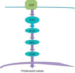 La vía de la tirosina-cinasa se inicia en el receptor del factor epitelial de desarrollo (EGF) de la membrana celular y pasa por una serie de pasos hasta el núcleo.