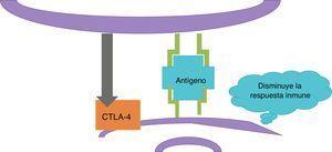 Iniciada la respuesta inmune, la célula dendrítica activa a los linfocitosT-citotóxicos asociados al antígeno4 (CTLA-4). CTLA-4 inhibe la respuesta inmune.