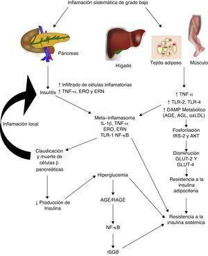 La inflamación sistémica de grado bajo contribuye al desarrollo de la resistencia a la insulina por distintas vías. AGE: productos terminales de glucosilación avanzada; AGL: ácidos grasos libres; AKT: proteína cinasaB; ERN: especies reactivas del nitrógeno; ERO: especies reactivas del oxígeno; GLUT: proteínas transportadoras de glucosa; IL: interleucina; ISGB: inflamación sistémica de grado bajo; IRS: sustrato del receptor de insulina; NF-κβ: factor nuclear kappa beta; oxLDL: lipoproteínas de baja densidad oxidadas; RAGE: receptor de productos terminales de glucosilación avanzada; TLR: receptor tipo toll; TNF: factor de necrosis tumoral.