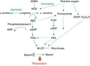 Factors responsible for pulmonary vascular relaxation. ADMA, asymmetric dimethylarginine; EDHF, endothelial hyperpolarizing factor; H2O2, hydrogen peroxide; MLCP, myosin light chain phosphatase; NOS, nitric oxide synthase; PGI, prostacyclin; PKA,protein kinase A; PKG, protein kinase G.